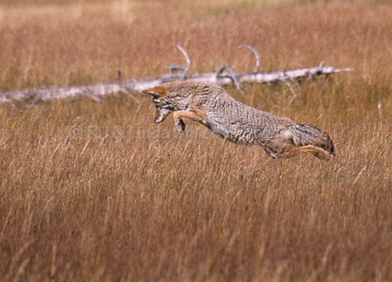 Coyote, North America