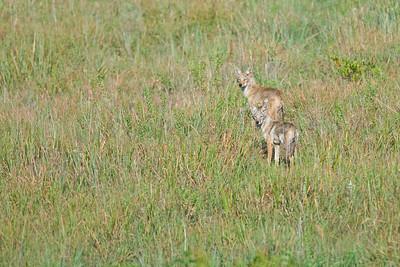 Coyote pair at Wichita Mountains Wildlife Refuge