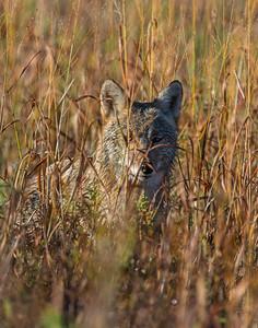 Coyote, Wichita Mountains National Wildlife Refuge, OK