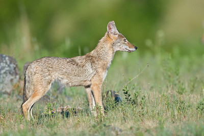 Coyote at Wichita Mountains Wildlife Refuge