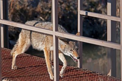 Coyote, Bosque Del Apache Wildlife Refuge, New Mexico 2009