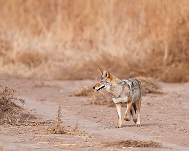 Coyote, Bosque Del Apache National Wildlife Refuge, NM