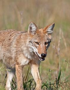 Coyote, Wichita Mountains National Wildlife Refuge, Oklahoma