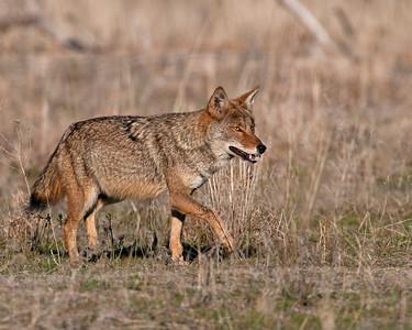 Coyote, Wichita Mountains Wildlife Refuge, OK