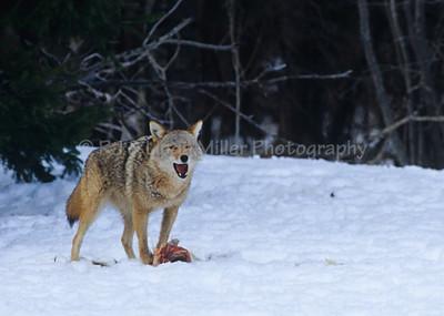 Coyote, North America