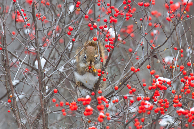 Red Squirrel and Winter Berry
