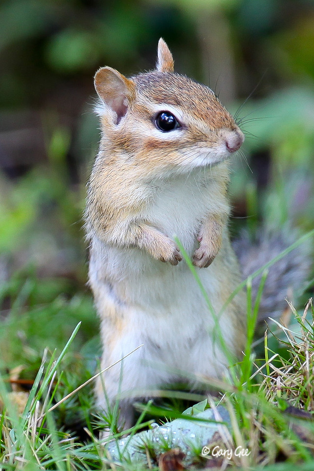 Cute Chipmunk! Have you ever not seen a cute one?