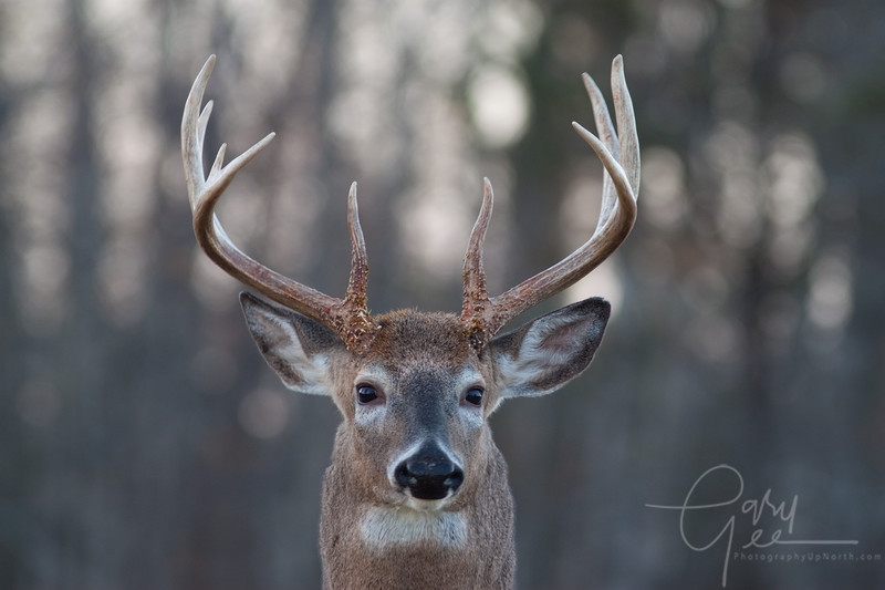 Think he's nearing the rut? Look at that neck!