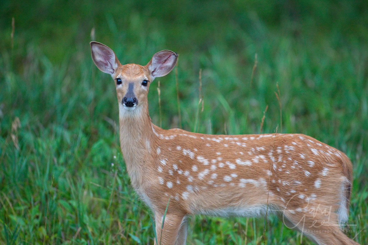Whitetail Fawn, Michigan