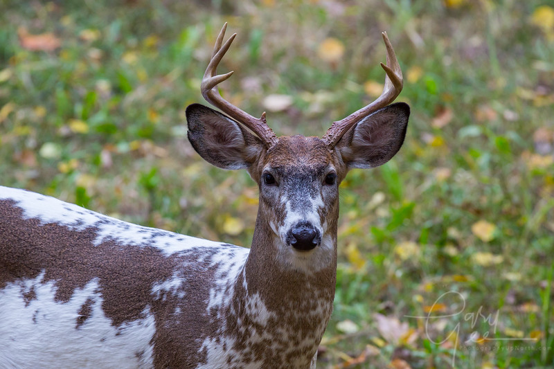 Piebald Whitetail Buck, Northern Michigan - Cherry Creek Farms