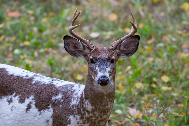 Piebald Whitetail Buck, Northern Michigan - Cherry Creek Farms