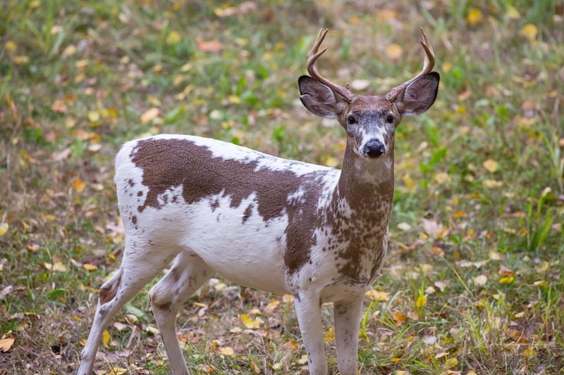 Piebald Whitetail Buck, Northern Michigan
