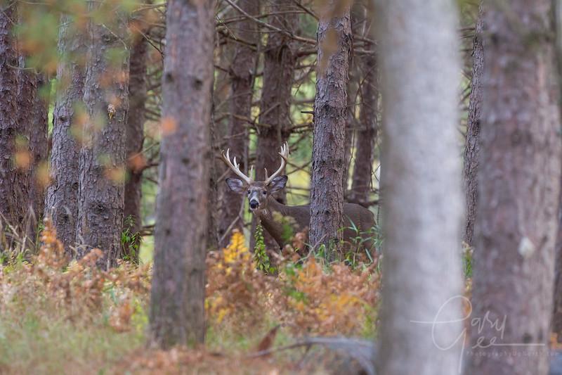 10 point buck at Cherry Creek Farms in Mio, MI
