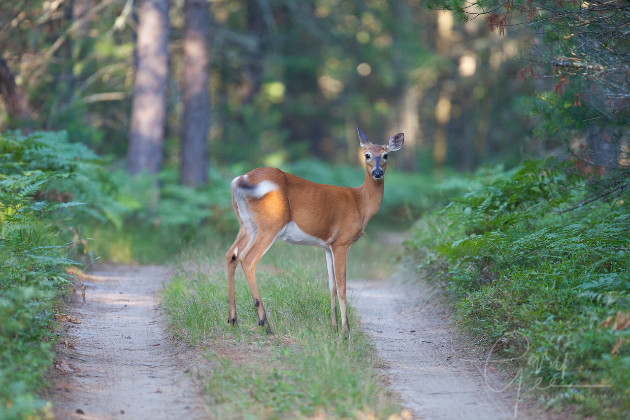 Whitetail Doe on two-track road in Northern Michigan