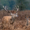 Red Stag and Calf