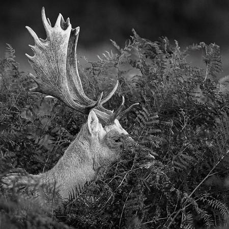 Menil Fallow Buck