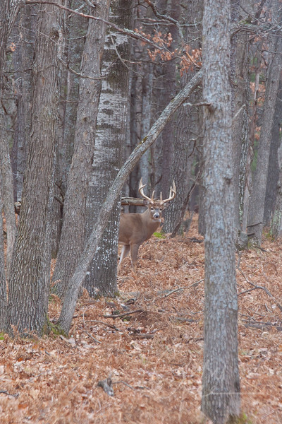 Whitetail Buck has me pegged!