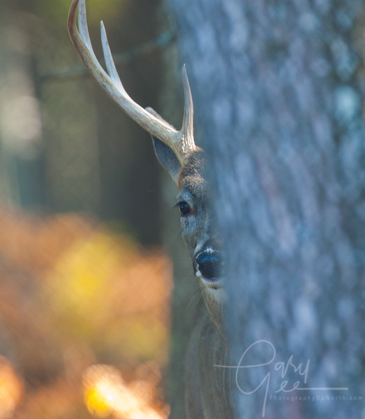 8 point buck pokes a nose out from behind a tree