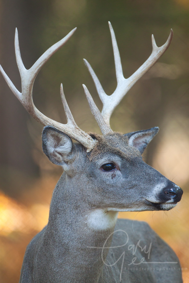 Michigan Whitetail Buck 9 point