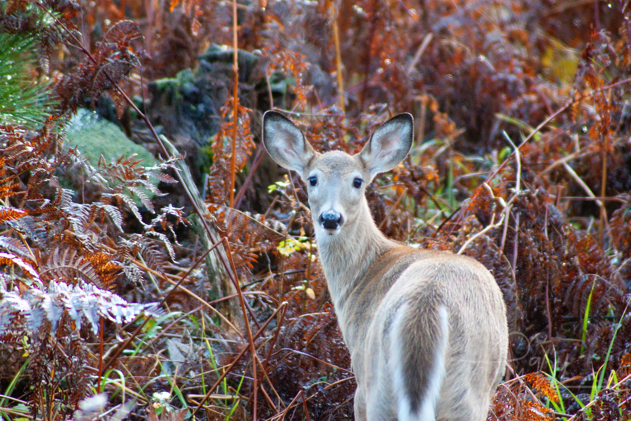 Cute fall Whitetail Doe