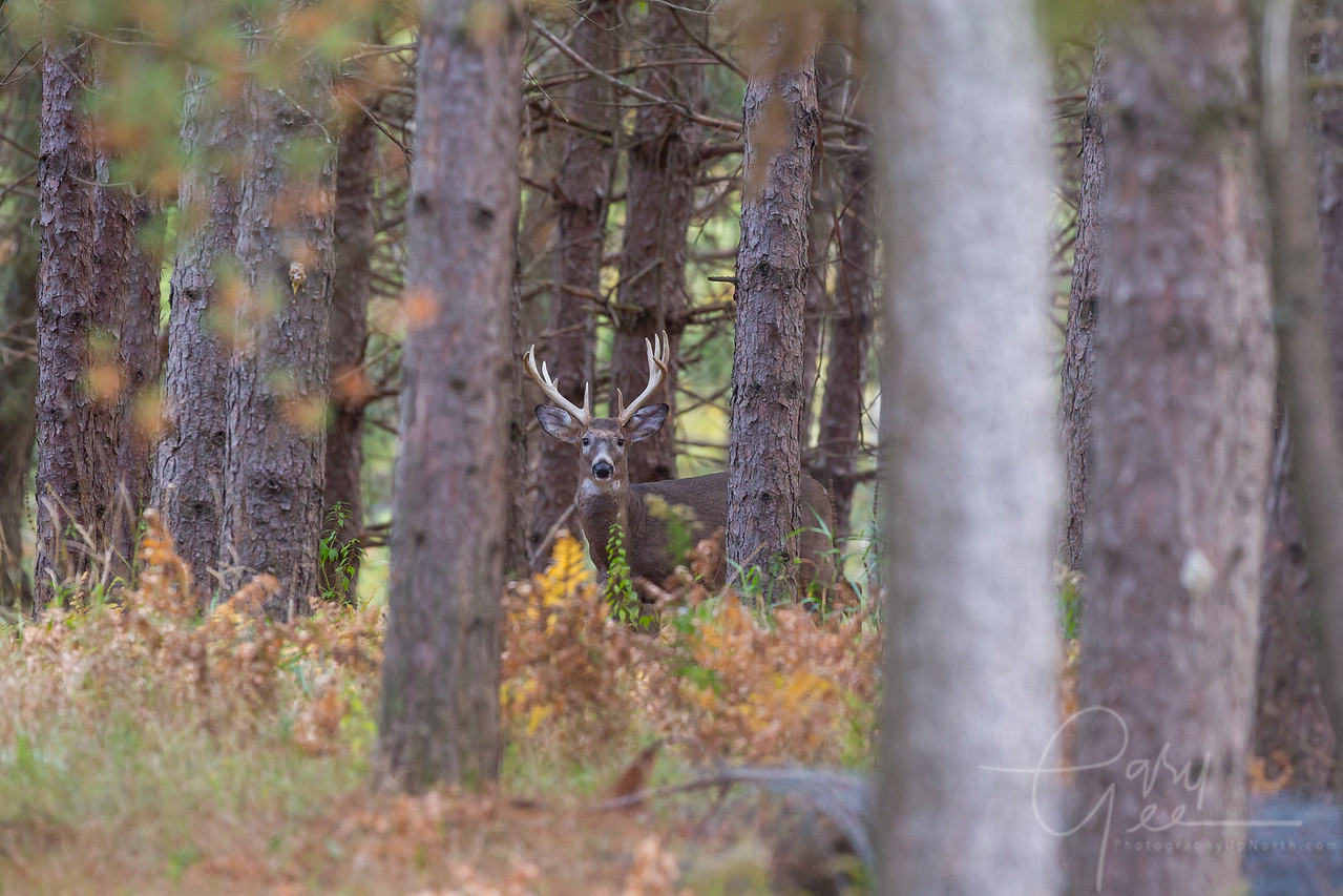 10 pointer lurking! - Cherry Creek Farms, Northern Michigan