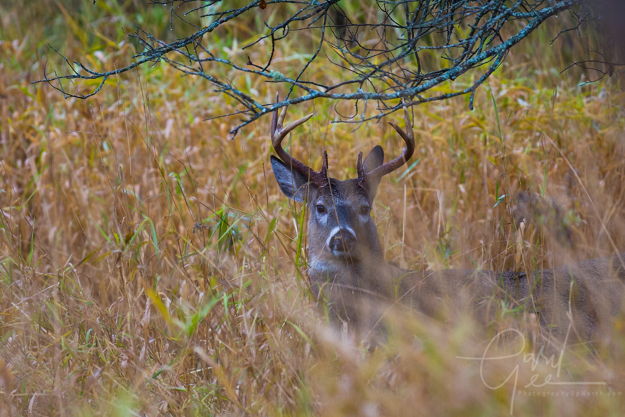 8 point buck nestled down during a steady rain at Cherry Creek Farms in Mio michigan