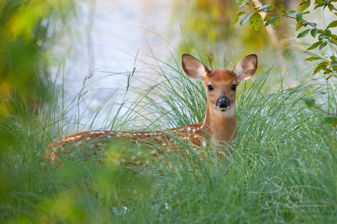 Whitetail Fawn in the early morning on the edge of a swamp pond