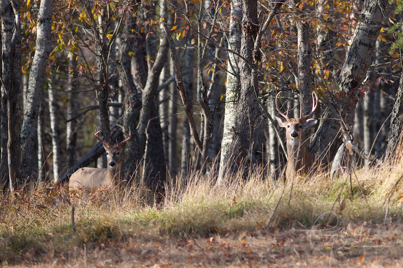Pair of bucks scoping things out!