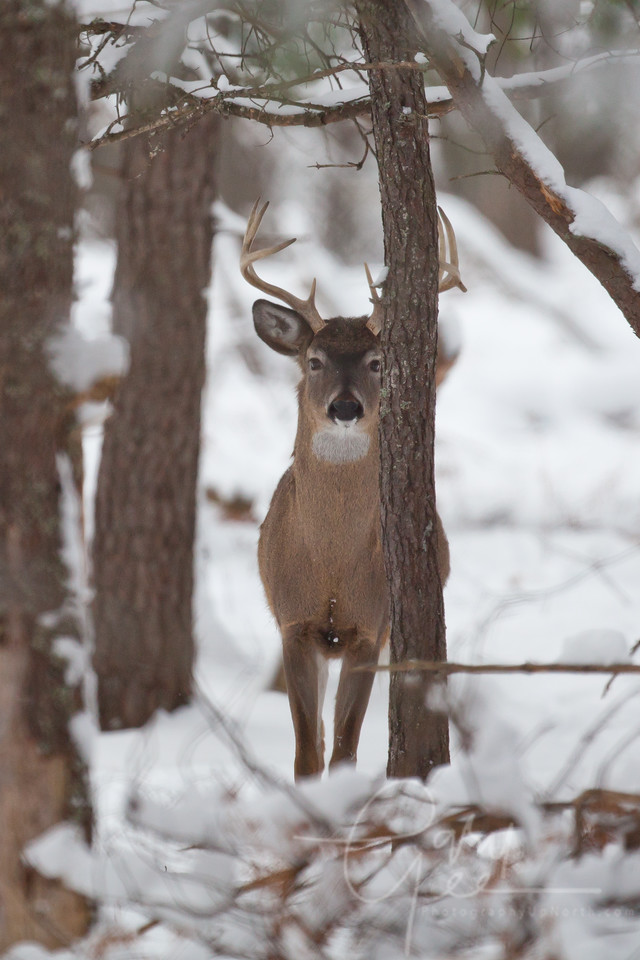 Whitetail Buck in Michigan Winter