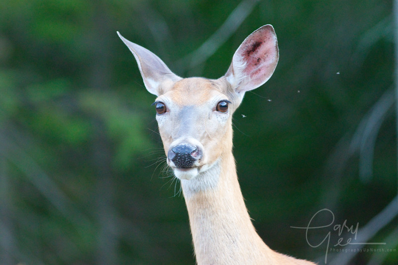 Curious Upper Peninsula Doe with a perfect formation of four pesky flies buzzing nearby!