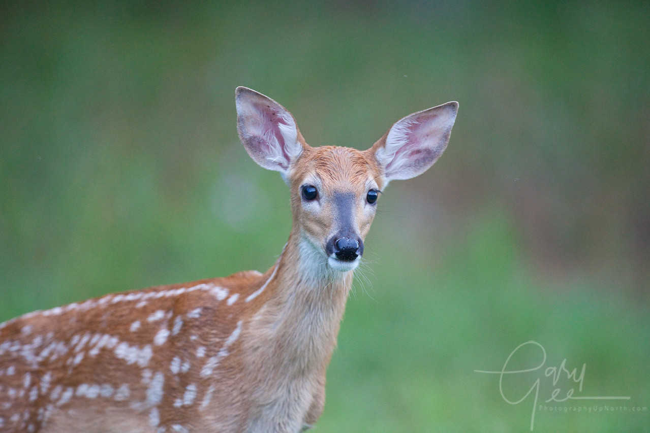 Cute fawn....course what fawn isn't?