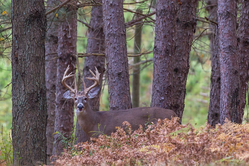 Nice buck just over the ridge of pines at Cherry Creek Farms in Mio, MI
