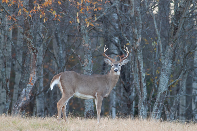 Whitetail Buck Michigan