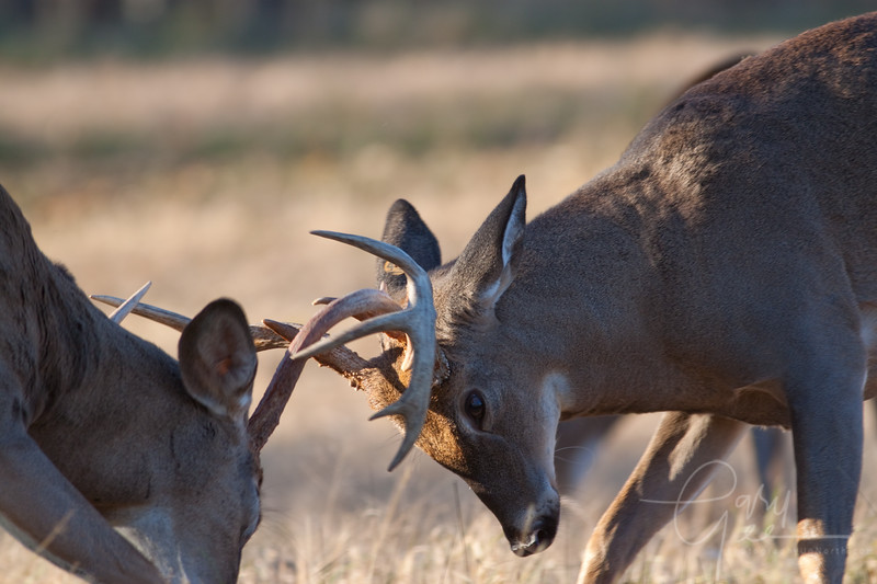 Two Bucks hooking up....quite the site! even tougher getting a photo!