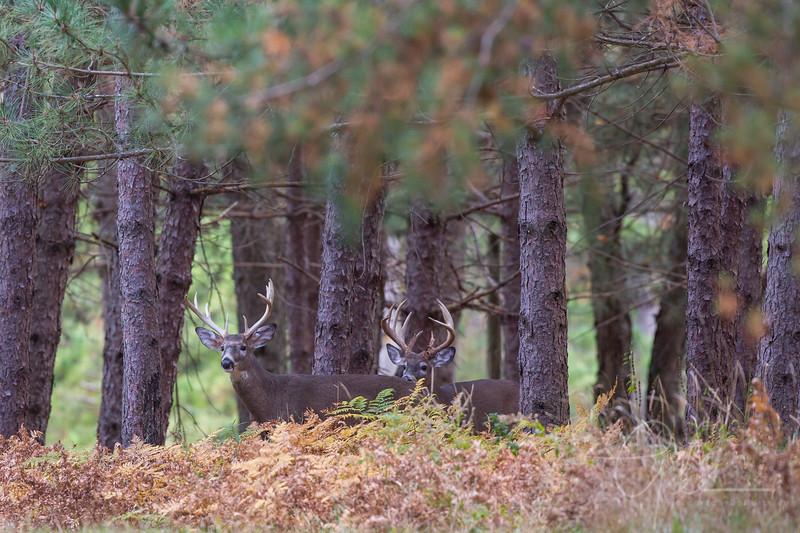 two bucks approaching an open field checking the wind - Cherry Creek Farms