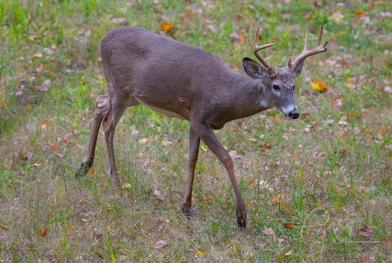 8 point Whitetail Buck, Northern Michigan - Cherry Creek Farms