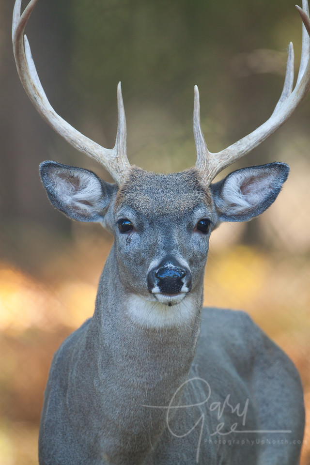 Michigan Whitetail Buck, I hate when I get so close that I can't fit them into my lens! It never seems to happen in bow & arrow season!