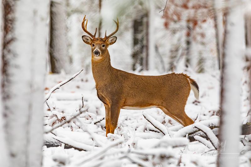 8 Point Buck - November 1, 2019