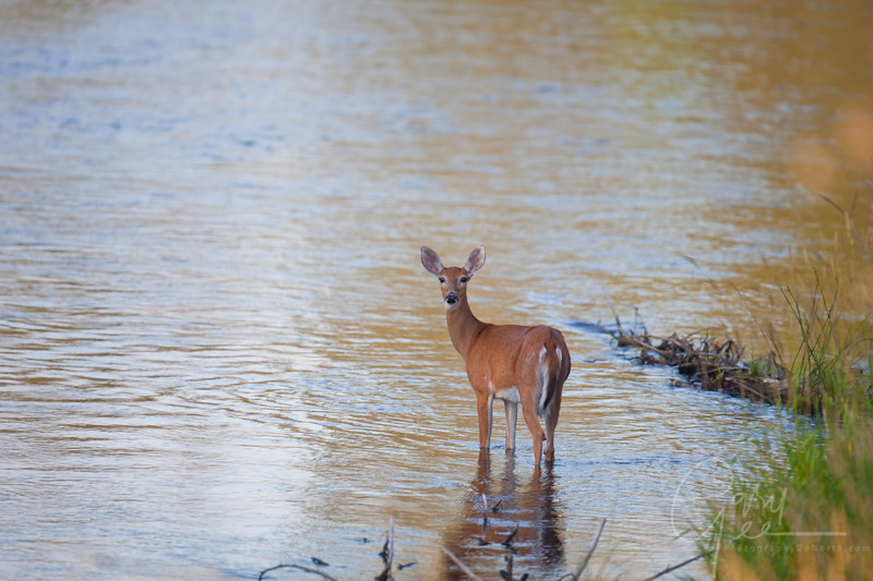 Doe in the AuSable River