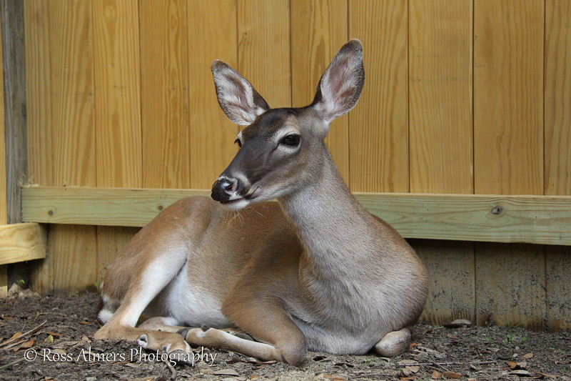 White Tailed Deer Posing