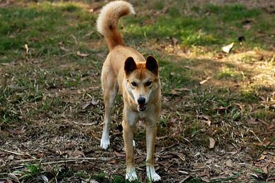 Canis lupus dingo. Territory Wildlife Park