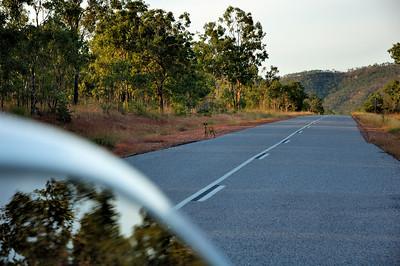 Canis lupus dingo. Kakadu National Park