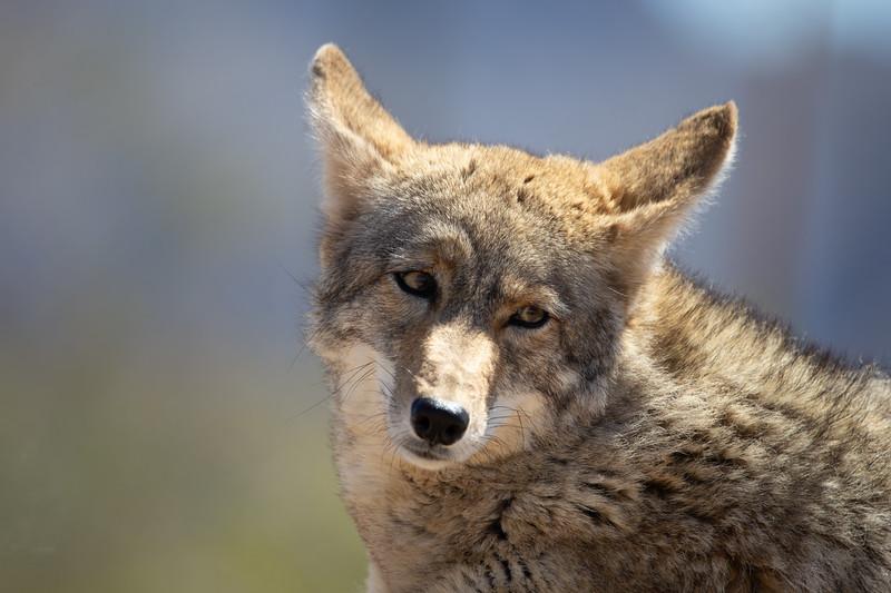 Mexican Wolf III