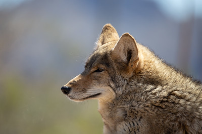 Mexican Wolf II