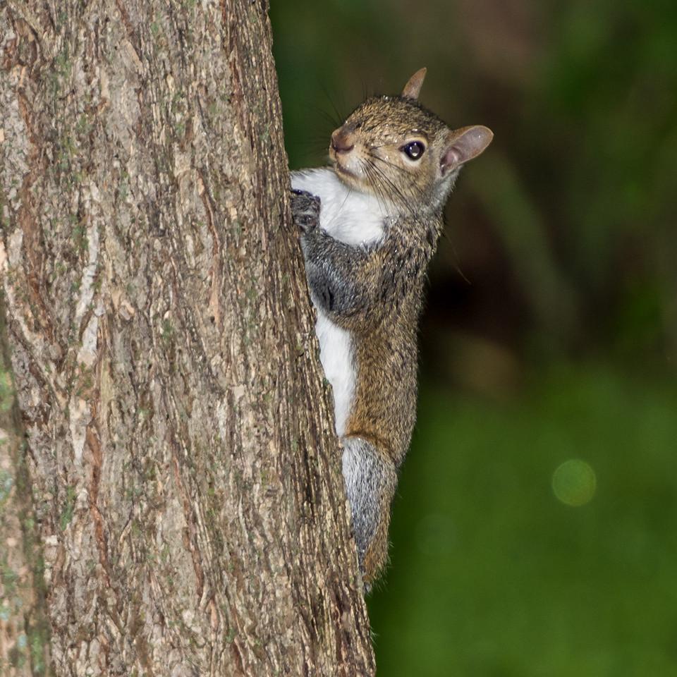 Eastern gray squirrel (Sciurus carolinensis). Fish Lake, Maple Grove, Minnesota.