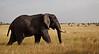 Elephant (16 of 49)