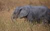 Elephant (32 of 49)