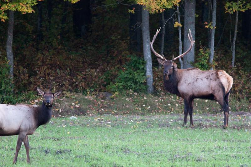 6 x 7 Bull Elk with injured left ear.