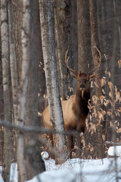 Bull Elk Pigeon River Forest, Northern Michigan