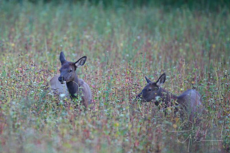 pair of yearly elk